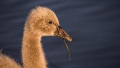 Black Swan (Image ID 41153)