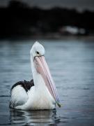 Australian Pelican (Image ID 41113)