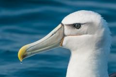Shy Albatross (Image ID 41510)