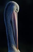 Australian Pelican (Image ID 41287)