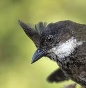 Eastern Whipbird (Image ID 41460)