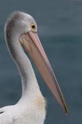 Australian Pelican (Image ID 41456)