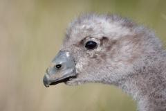 Cape Barren Goose (Image ID 41321)