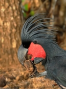 Palm Cockatoo (Image ID 41268)