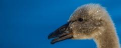 Black Swan (Image ID 41151)