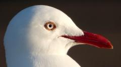 Silver Gull (Image ID 41411)