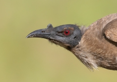 Noisy Friarbird (Image ID 41092)