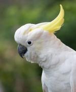 Sulphur-crested Cockatoo (Image ID 41123)
