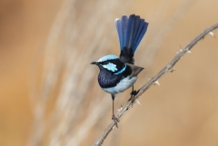 Superb Fairy-wren (Image ID 41127)