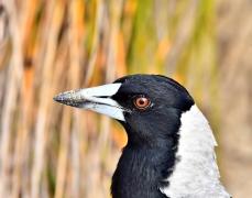 Australian Magpie (Image ID 41516)