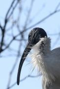 Australian White Ibis (Image ID 41424)