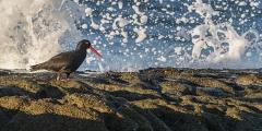Sooty Oystercatcher (Image ID 41757)