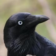 Australian Raven (Image ID 41760)