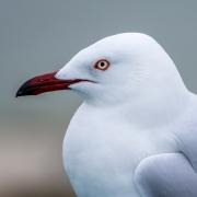 Silver Gull (Image ID 41789)