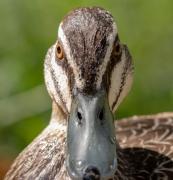 Pacific Black Duck (Image ID 41650)