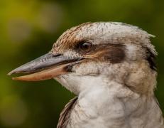 Laughing Kookaburra (Image ID 41728)