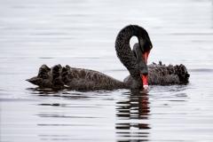 Black Swan (Image ID 41651)