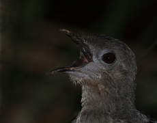 Superb Lyrebird (Image ID 41734)