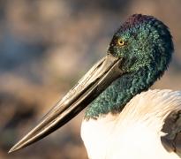 Black-necked Stork (Image ID 41649)