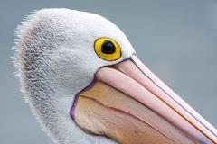 Australian Pelican (Image ID 41800)