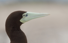 Brown Booby (Image ID 41753)