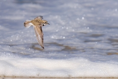 Double-banded Plover (Image ID 41641)