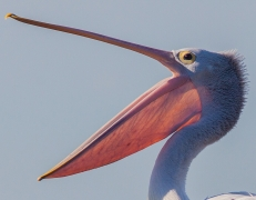 Australian Pelican (Image ID 41730)