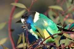 Australian Ringneck (Image ID 41638)