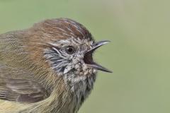 Striated Thornbill (Image ID 41705)
