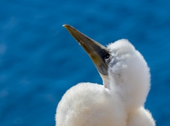 Masked Booby (Image ID 41604)