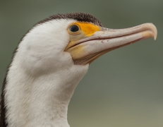 Little Pied Cormorant (Image ID 41729)