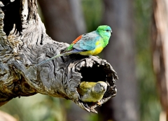 Red-rumped Parrot (Image ID 41758)