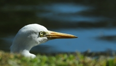Plumed Egret (Image ID 41806)