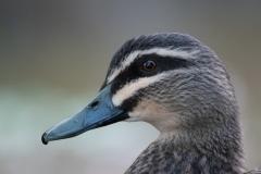 Pacific Black Duck (Image ID 41708)