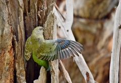 Red-rumped Parrot (Image ID 41759)