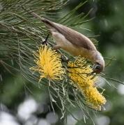 Little Friarbird (Image ID 41746)