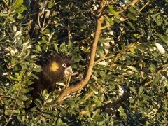 Yellow-tailed Black-Cockatoo (Image ID 41739)