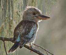 Blue-winged Kookaburra (Image ID 42433)