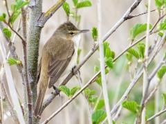 Australian Reed-Warbler (Image ID 42574)