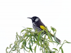 New Holland Honeyeater (Image ID 42573)