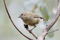 Striated Thornbill (Image ID 42603)